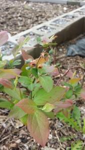 A blueberry bush
