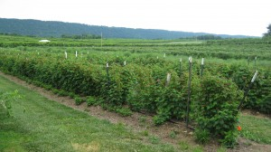 Rows of Raspberry Bushes