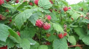 Early Raspberries