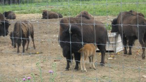 The New Bison Calf