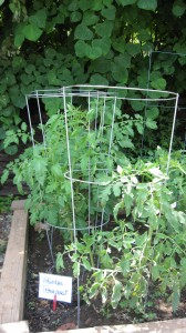 Volunteer Tomato Plants
